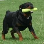 Rottweiler   Características da raça, fotos e vídeos
