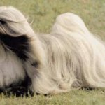 lhasa-apso-fotos-videos-2