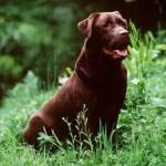 Labrador_Fotos_4