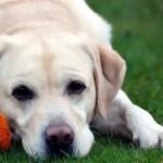 Labrador_Fotos_7
