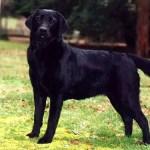 Labrador_Fotos_9