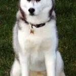 Husky Siberiano 8