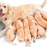 cachorra-cruzar-periodo