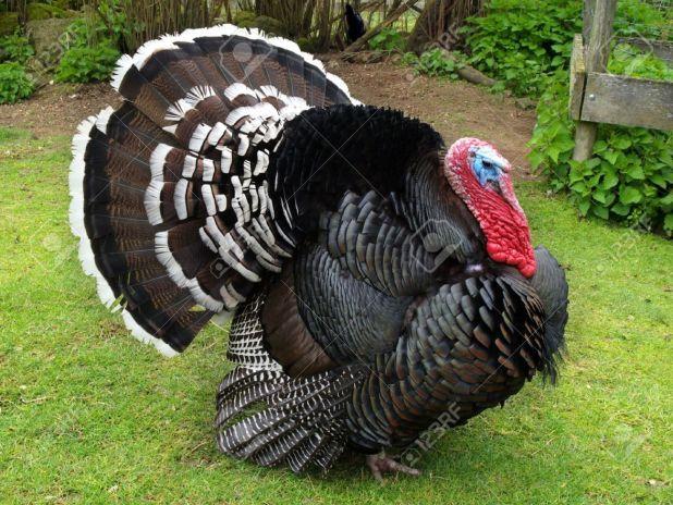 2775846-los-grandes-machos-de-pavo-en-un-entorno-natural-mostrando-la-cola-plumas-foto-de-archivo