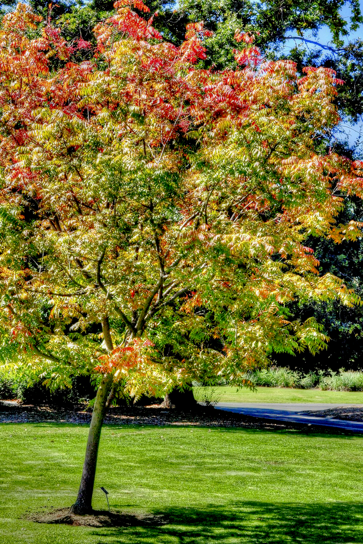 Incredible Fm Chinese Pistache Fm Chinese Pistache California Fall Color Chinese Pistache Tree Lowes Chinese Pistache Tree S houzz-02 Chinese Pistachio Tree