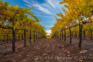 Bray Vineyards, Amador County (11/10/13) Dotty Molt