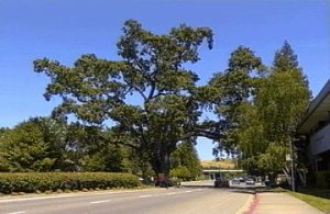 Danville Oak (File Photo) Yelp