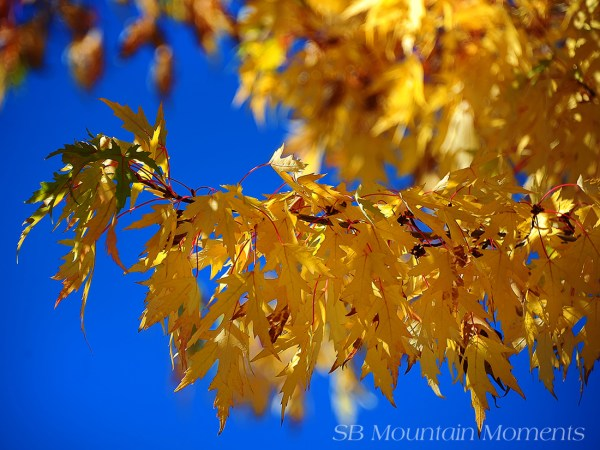 Mountain Maple, Big Bear Lake (10/5/14) Nick Barnhart