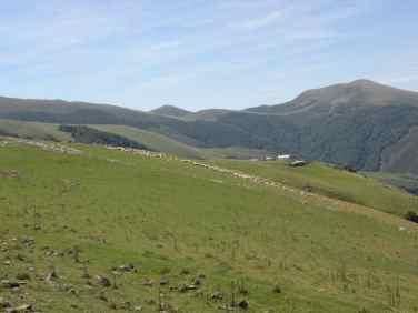 Pyrenees 27 sheeps