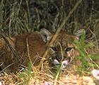 Mountain Lion aka Cougar