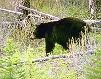 Black bears are common in the Robson Jasper area