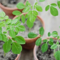 Moringa anpflanzen