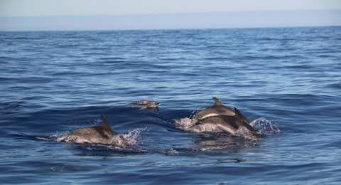 Dolphins in Fuerteventura