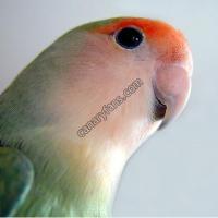 كيفية تمييز الهجين ( النغل ) في طيور الحب (للمبتدئين)