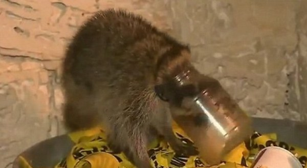 Baby-Raccoon-Gets-Its-Head-Stuck-in-a-Jar-Is-Rescued-by-a-Firefighter