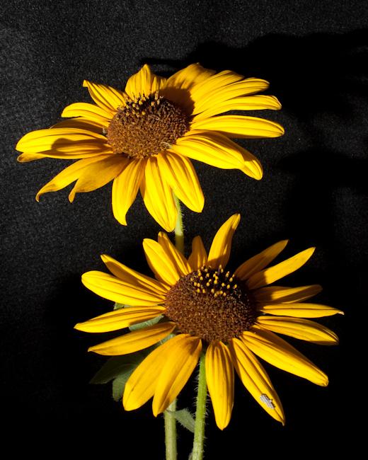 A few sunflowers