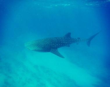 Australia Whale Shark Tour N