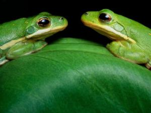 green-tree-frog-images