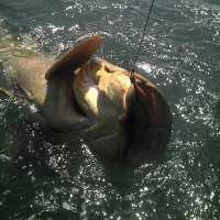Captiva Fishing Report: Goliath grouper ~ Sanibel, Captiva, North Captiva, #Captiva