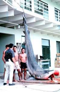 "Captiva Fishing, 3-31-15, ""Tiger shark, Hawaii Aii"" by Dr. James P. McVey, NOAA Sea Grant Program - http://www.photolib.noaa.gov/htmls/mvey0031.htm. Licensed under Public Domain via Wikimedia Commons."