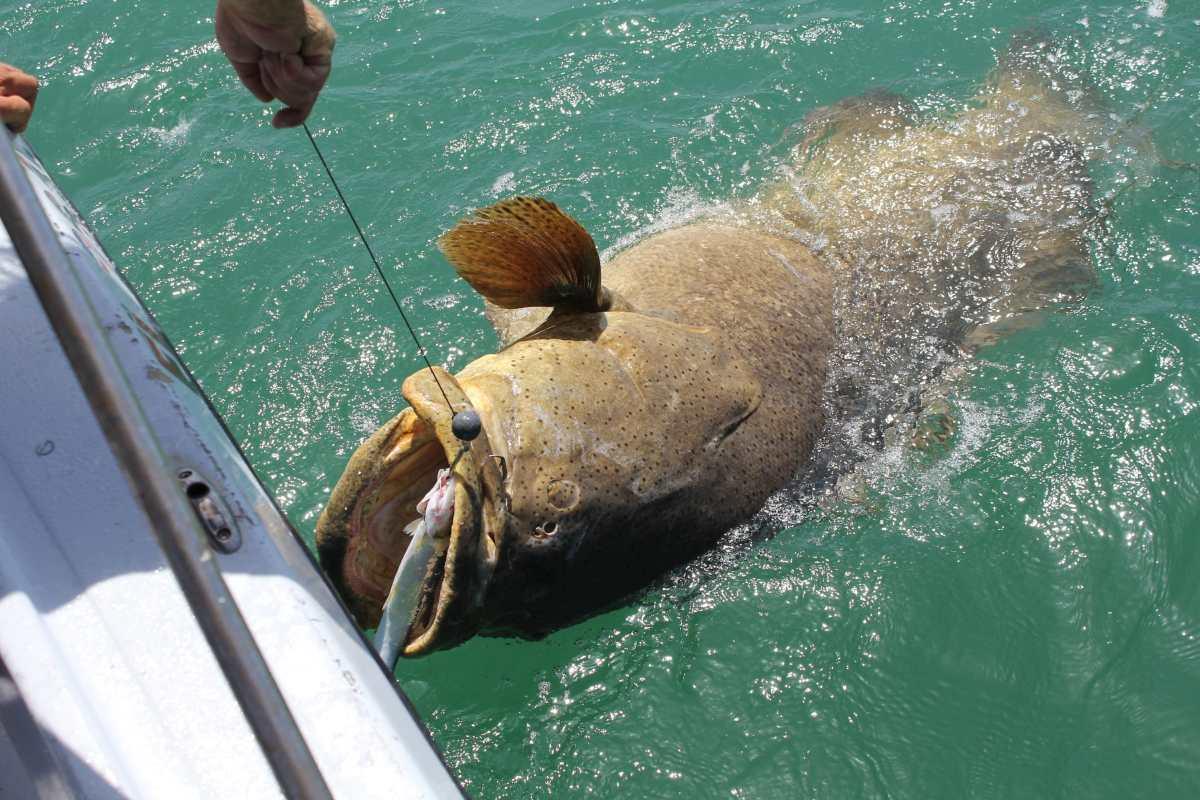 Captiva Fishing Monday, 7-20-15: Goliath Grouper ~ #Sanibel #Captiva