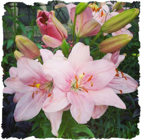 Bryant Park Lilies