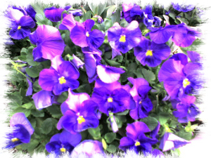 Pansies growing in Bryant Park.  I snapped this on the way to work today