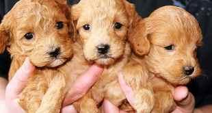 Puppies, better than the Super Bowl/ Condoleeza