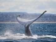 Humpback whale_credit Wild About Whales (2)