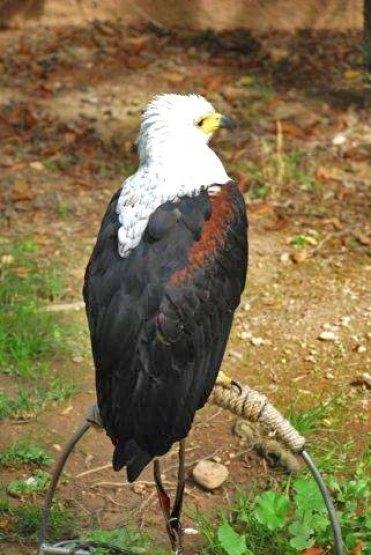 Exhibición de aves rapaces - Águila (Monasterio de Piedra)