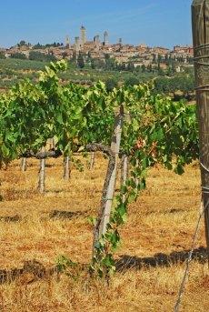 """Viñas de """"Vernaccia"""""""