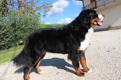 Medium Of Russian Mountain Dog