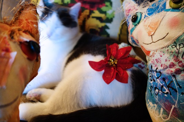 Wally the cat with a christmas flower on him as he sleeps.