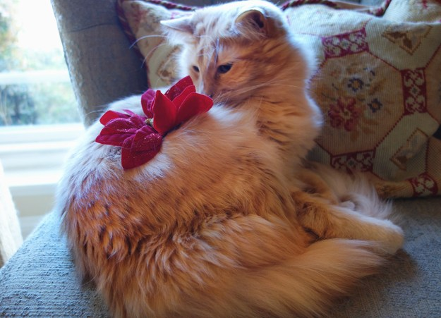 Rudy the cat with a fake Poinsettia flower on his back.