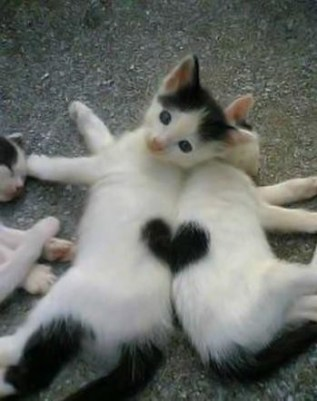 Two kittens laying side by side and their spots match up to make a perfect heart.
