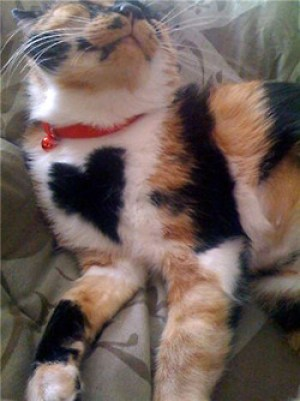 A tortoishell cat with a perfect black heart patch on her chest.