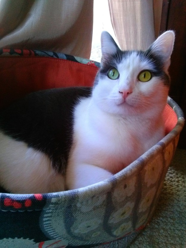 Black and white real life cat Wally sits in a colorful orange basket. His eyes are very green.