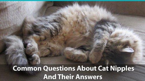 Medium Of How Many Nipples Do Cats Have
