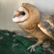 Miracle Owl Before Release