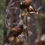 Pair of Harris' Hawks
