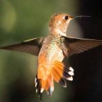 Allen's Humming Bird
