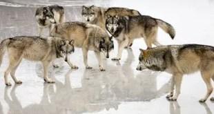 Chistes Cristianos - Rodeado de lobos