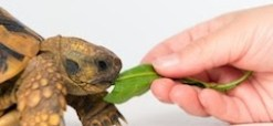turtle eating a green leaf