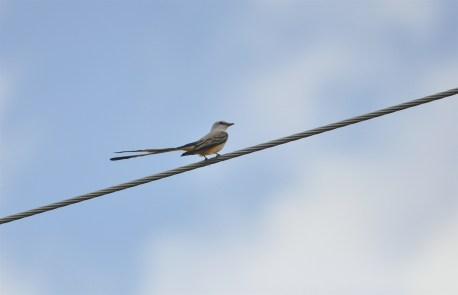First of 7 Scissor-tailed Flycatchers