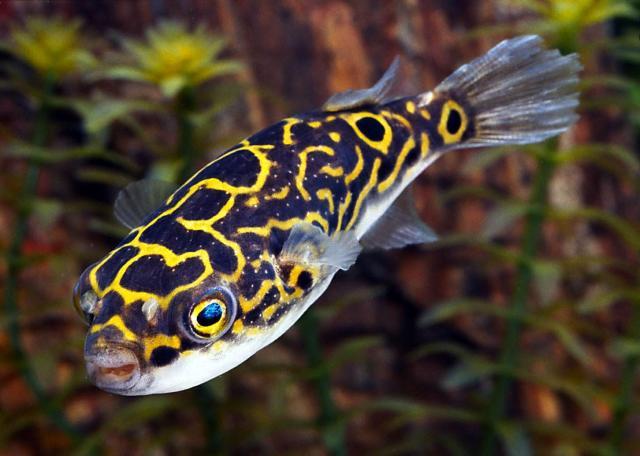 Freshwater Puffer Fish Figure 8 Walmart Fish Goes Salty