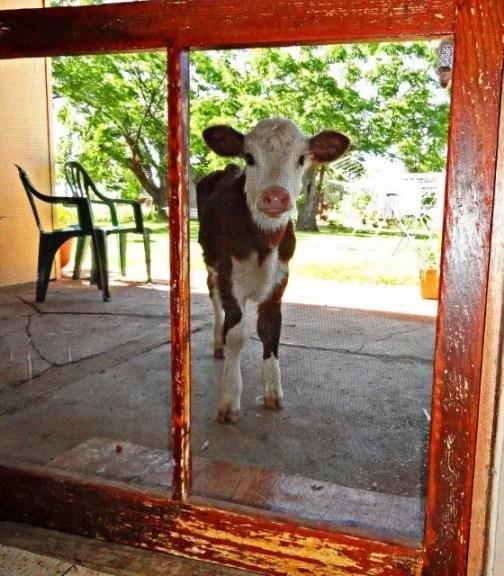 Bella the calf