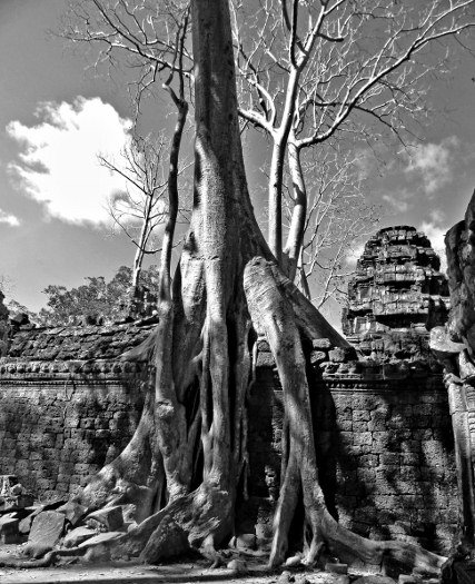 Tree pictures Ta Prohm Angkor Wat