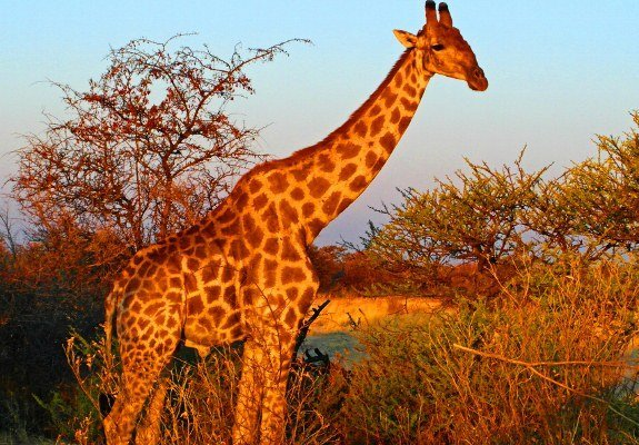 Namibia Etosha giraffe sunset