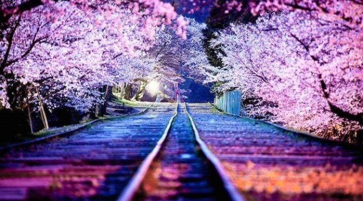 Cherry Blossoms is a cultural symbol of Japan