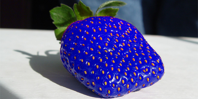 Researchers have come up with a blue strawberry by splicing them with Fish genes!